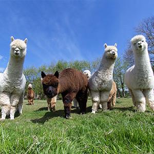 Alpacas | Bata4en uw dierenarts | Haaften en Ophemert